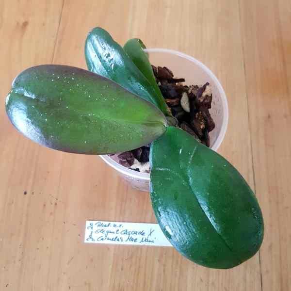 Phalaenopsis jungpflanze