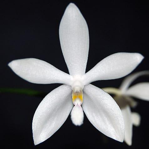 Phalaenospsis Jungpflanzen kaufen