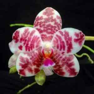 Phalaenopsis Auspice Knight KF