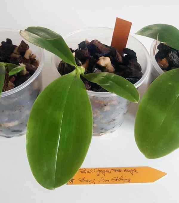 beliebte Phalaenopsis Hybriden
