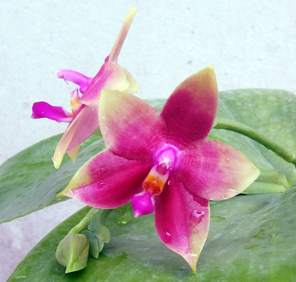Phalaenopsis Su's Bellicosa