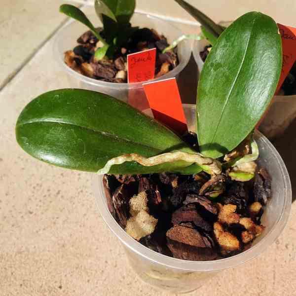 Phalaenopsis Wössner's Feuer