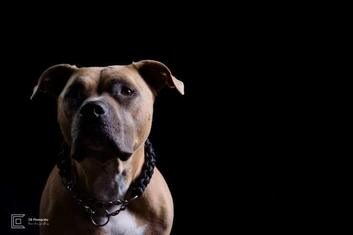 Pet Photography in Studio | Tokyo Cristian Bucur Photography Pit bull portrait in studio.