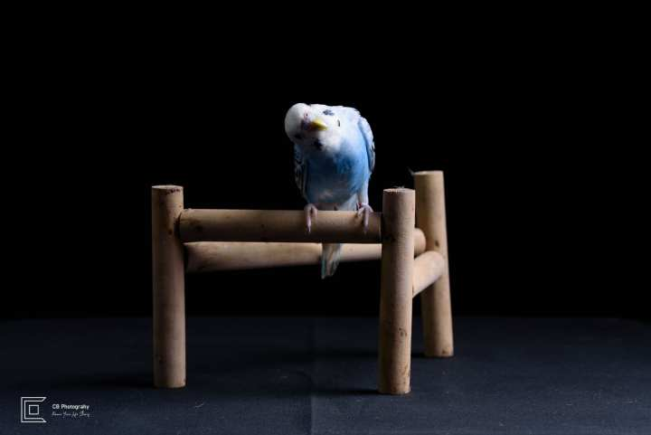 Pet Photography in Studio | Tokyo Cristian Bucur Photography Bird portrait, Parrot(Budgerigar).