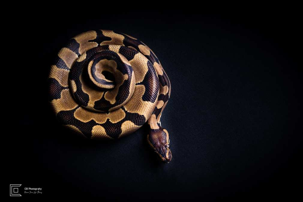 Pet photographer in Tokyo: Snake (coiled), image taken in a photo studio by Cristian Bucur