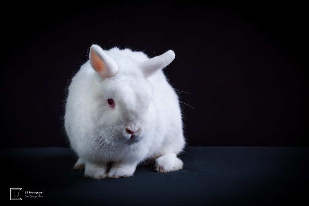 Pet photographer in Tokyo: white rabbit image taken in a photo studio by Cristian Bucur