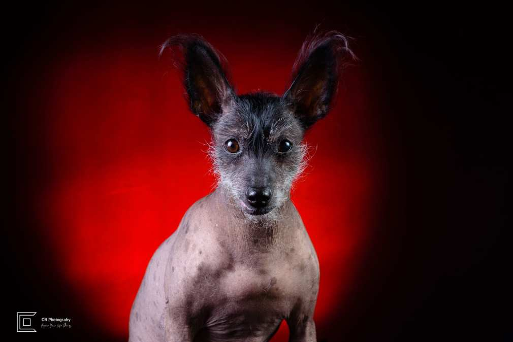 Pet photography in studio, Xoloitzcuintli-know as Mexican Naked Dog, using a red light background, image by Tokyo Photographer Cristian Bucur