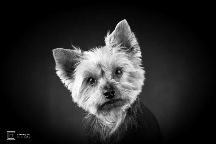 Yorkshire Terrier during a studio photosession in Tatami Studio. Pet photography.