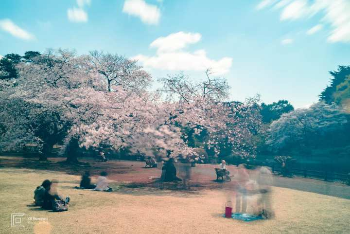 Street Photography during the Japanese Cherry Blossom, photo by Cristian Bucur Photographer in Tokyo. Sakura/Cherry Blossoms in Shinjuku Gyoen National Park