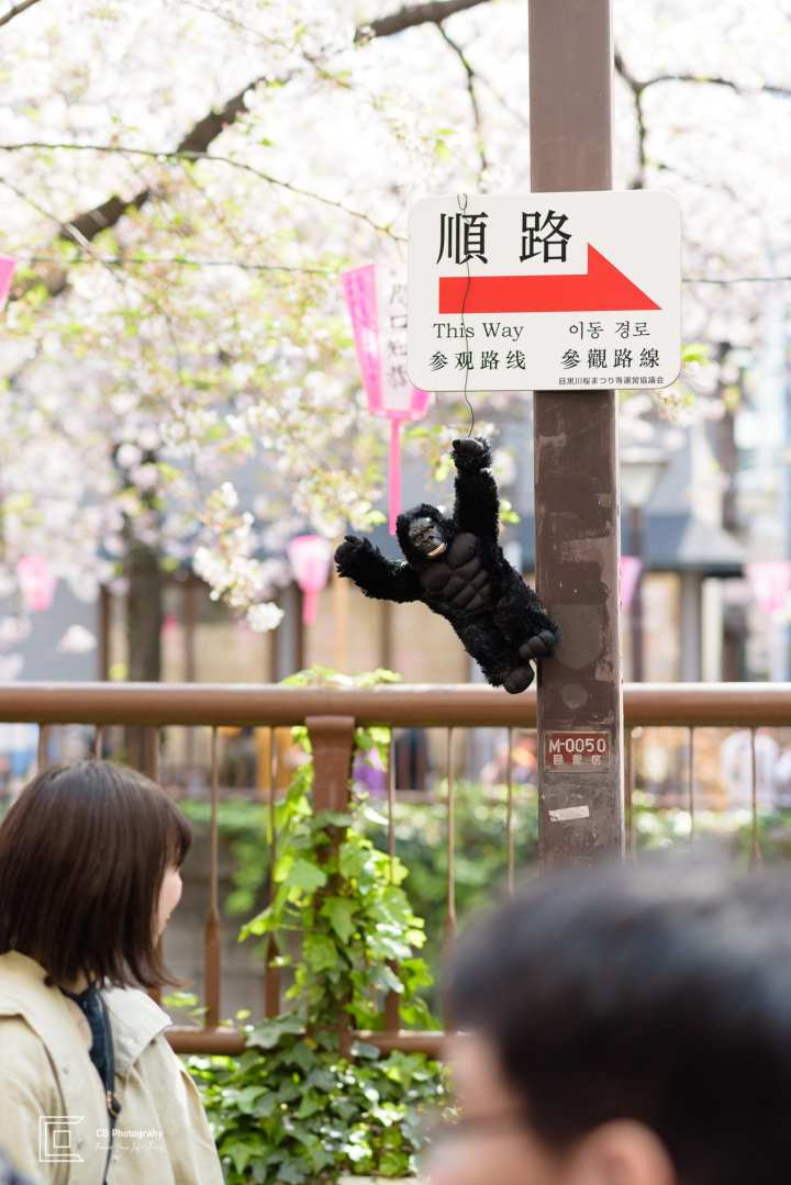 Monkey hanging under Cherry Trees in Nakameguro