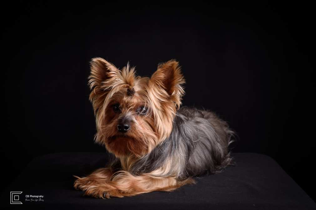 Yorkshire Terrier Pet Portrait Photo
