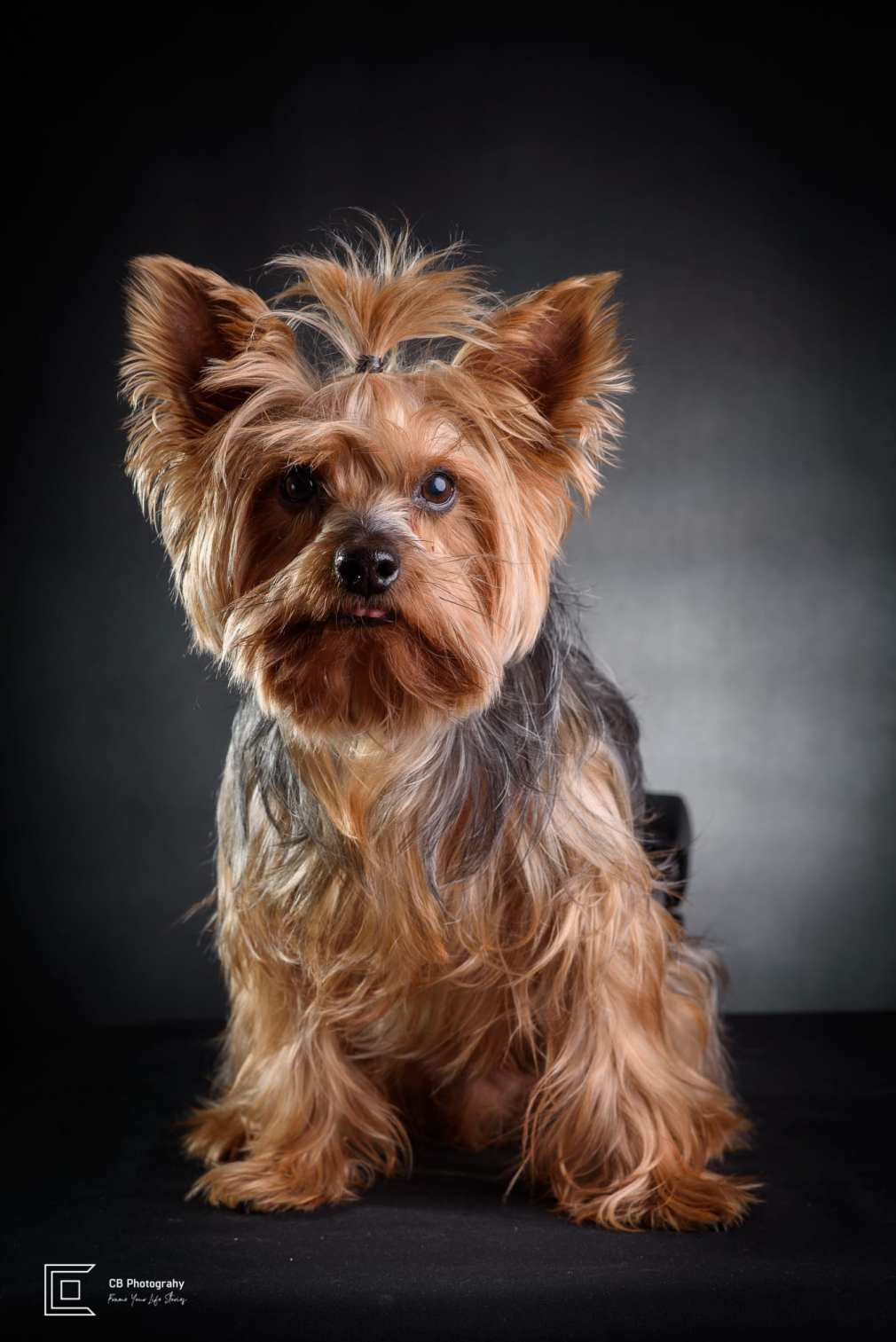 Pet photography in the studio: Yorkshire Terrier