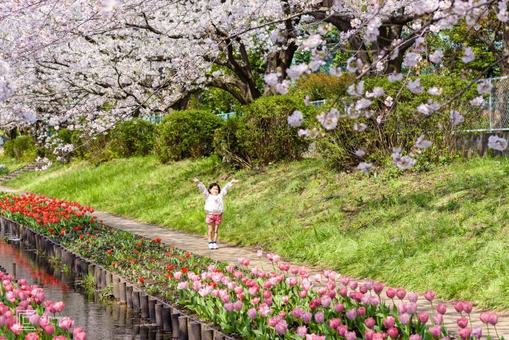 Best place for family photos this year. Child under Cherry trees in full bloom. Image by the Tokyo Photographer Cristian Bucur.