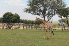 Safári - Lion Park Pilanesberg. Southafrica. Girafinhas :) girafas
