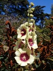 Hollyhocks in the SF Botanical Garden