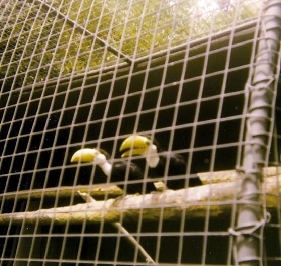 Blurry toucans