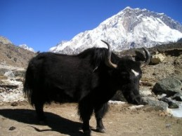 nepal-yak