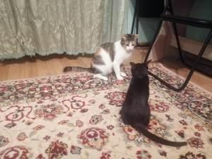 pisică mică