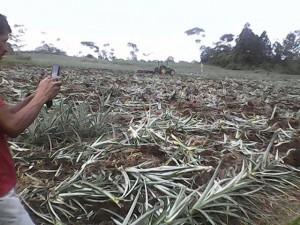 Al fondo se observa un tractor destruyendo los cultivos de piña.