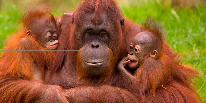 Indonesia intenta proteger a los orangutanes del coronavirus