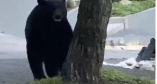 La invasión de los osos en municipios de Nuevo León