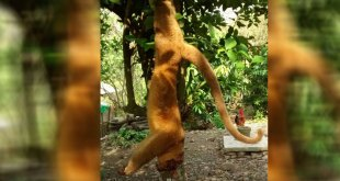 Caza y muerte de martucha causa enojo en Xochiatipan