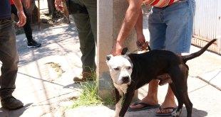 Mata perro de raza pitbull a anciana en Tlaquepaque
