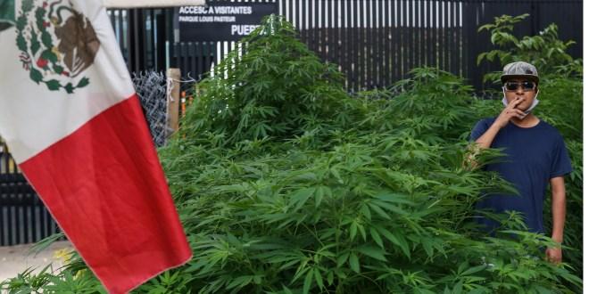 Crece jardín marihuana frente Senado de la República