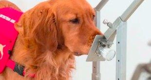 Perros detectar personas Covid-19 estudio