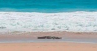 Captan cocodrilo tres metros playa Acapulco