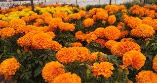 La flor de cempasúchil, el color del Día de Muertos