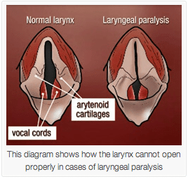 Laryngeal Paralysis in Dogs  A Common Voice Box Problem
