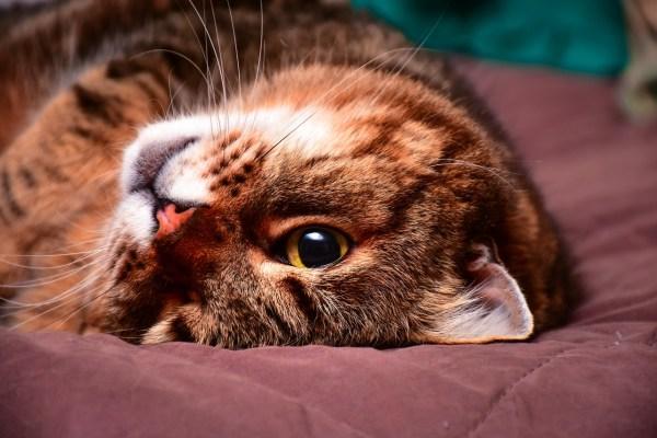 cat animal feline upside down