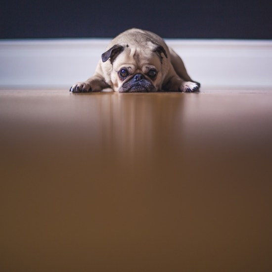 sad pug dog neglected Critter Caretakers Pet Services Why Should You Hire a Tempe Dog Walker?