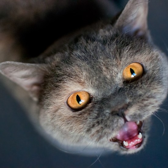 cat black meow meowing Critter Caretakers Pet Services Should You Let Your Pets Celebrate Thanksgiving?