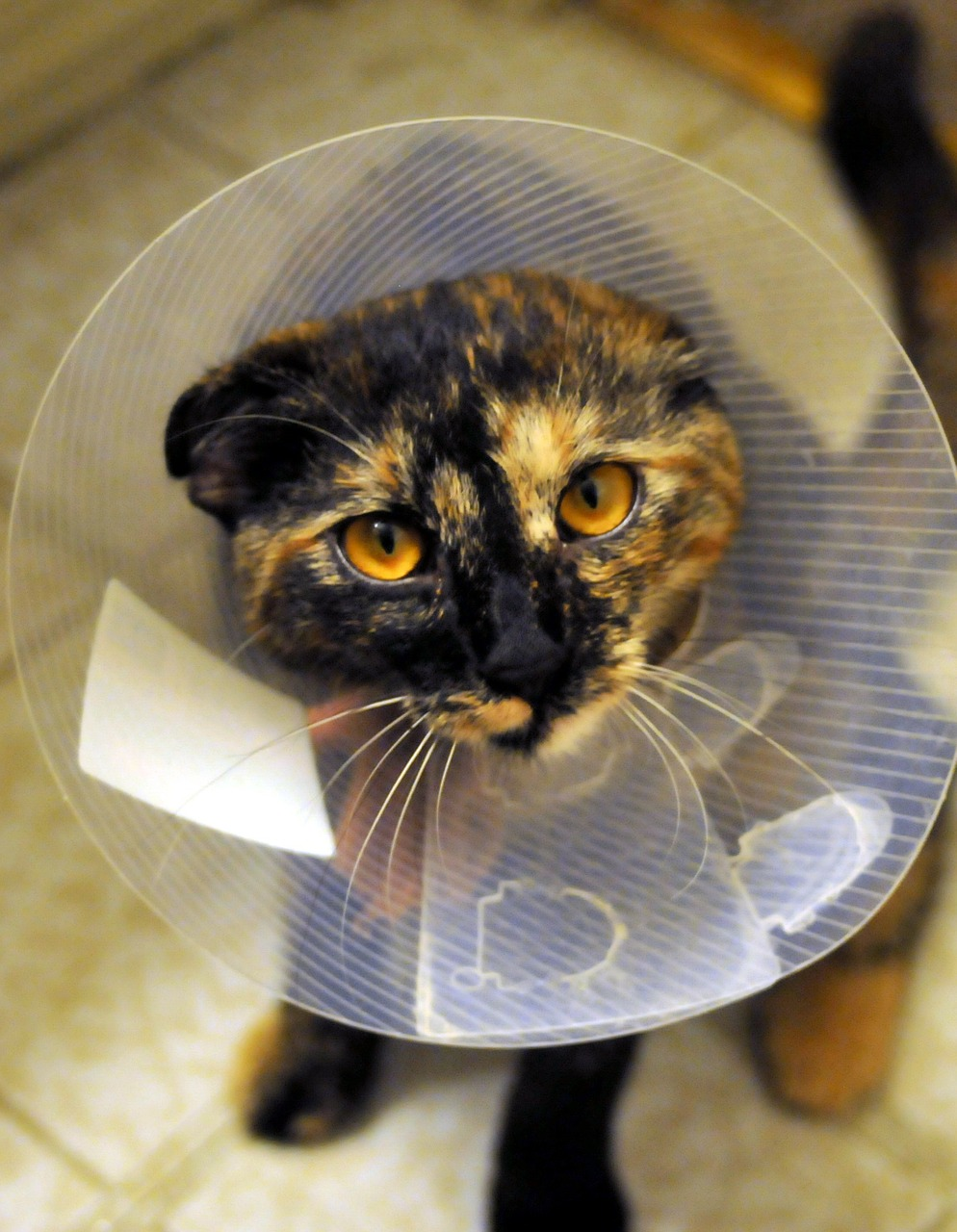 cat black ginger collar Critter Caretakers Pet Services Why your Tempe pet sitter thinks you should spay/neuter your pets