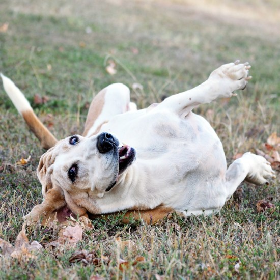 bassett hound puppy mill dog Critter Caretakers Pet Services When Dogs Fight: Dog Sitter in Tempe Learns a Lesson