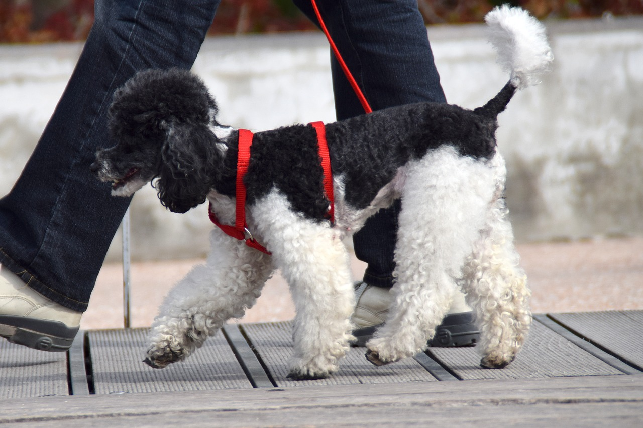 dog poodle red leash Critter Caretakers Pet Services What Kind of Leash Should I Use for My Dog?