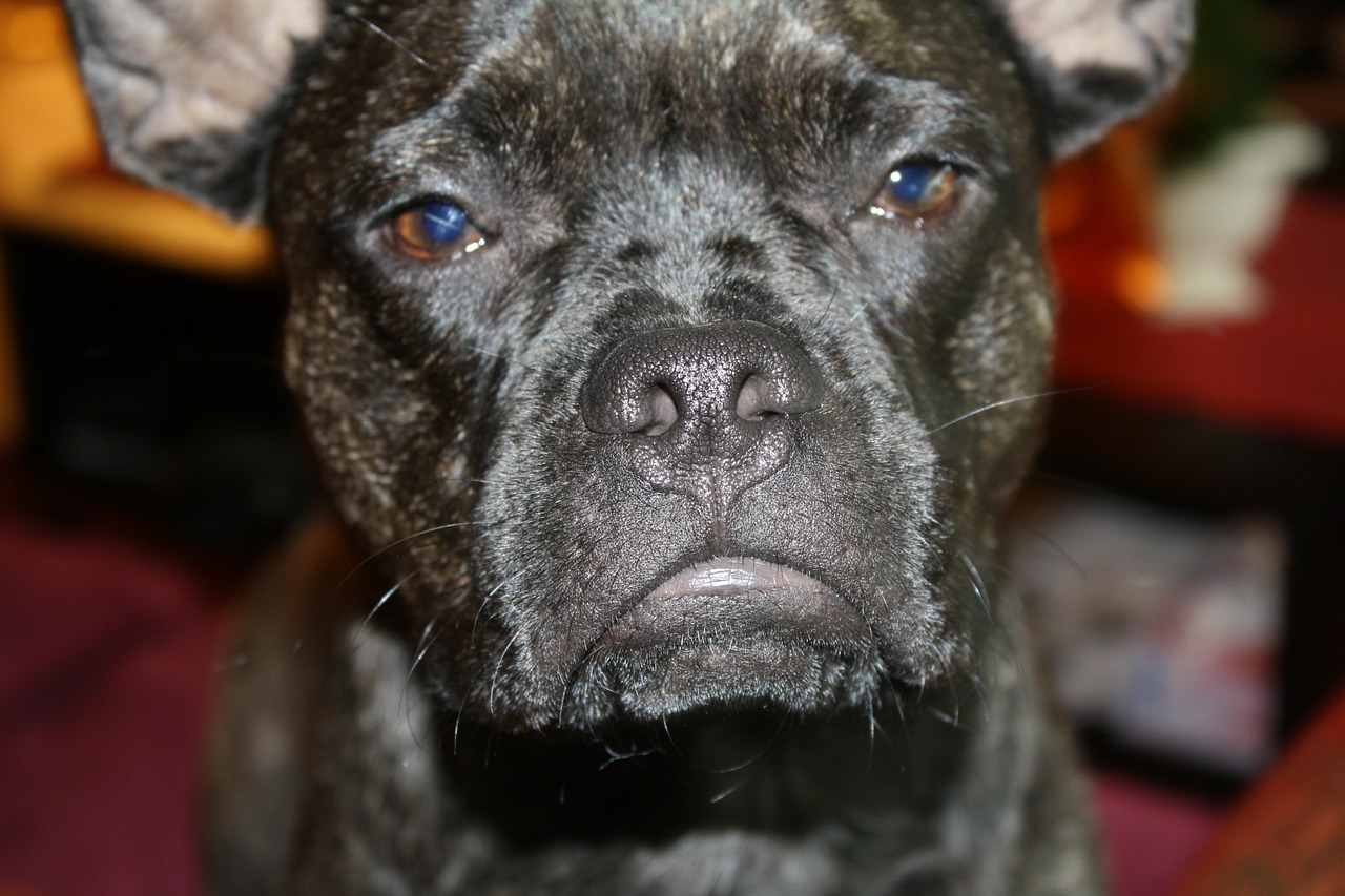 french bulldog black upset stomach Critter Caretakers Pet Services Chandler Dog Sitter Answers: What Can I Do If My Dog Has An Upset Stomach?