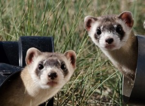 cage sanitzing black footed ferrets