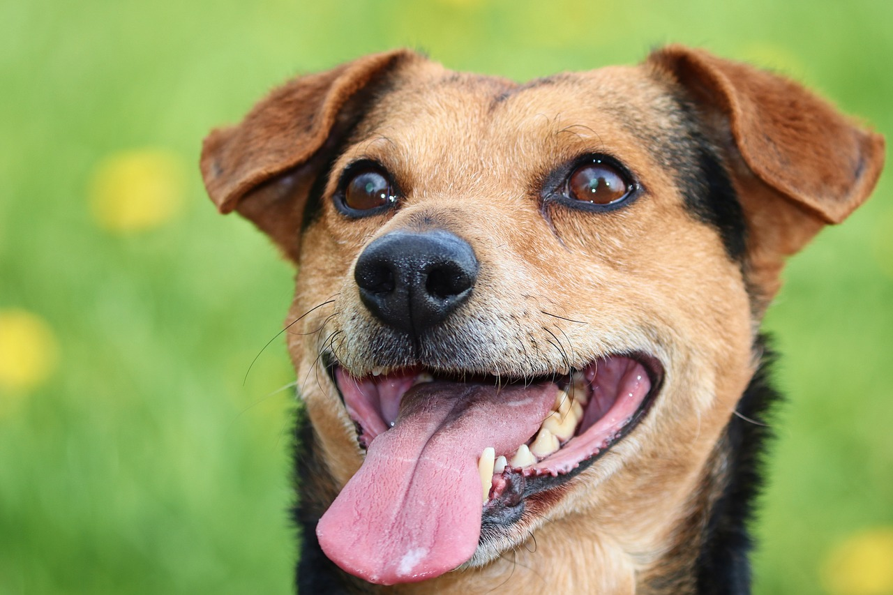 panting hot dog Critter Caretakers Pet Services What's Your Dog's Heat Safety Quotient?