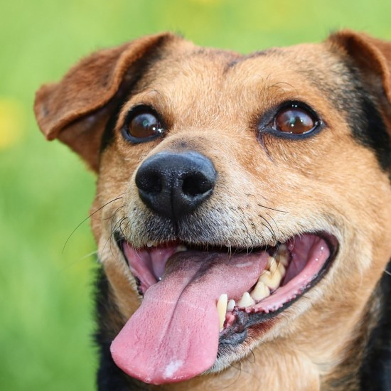 panting hot dog Critter Caretakers Pet Services Top 10 things you shouldn't feed your dog