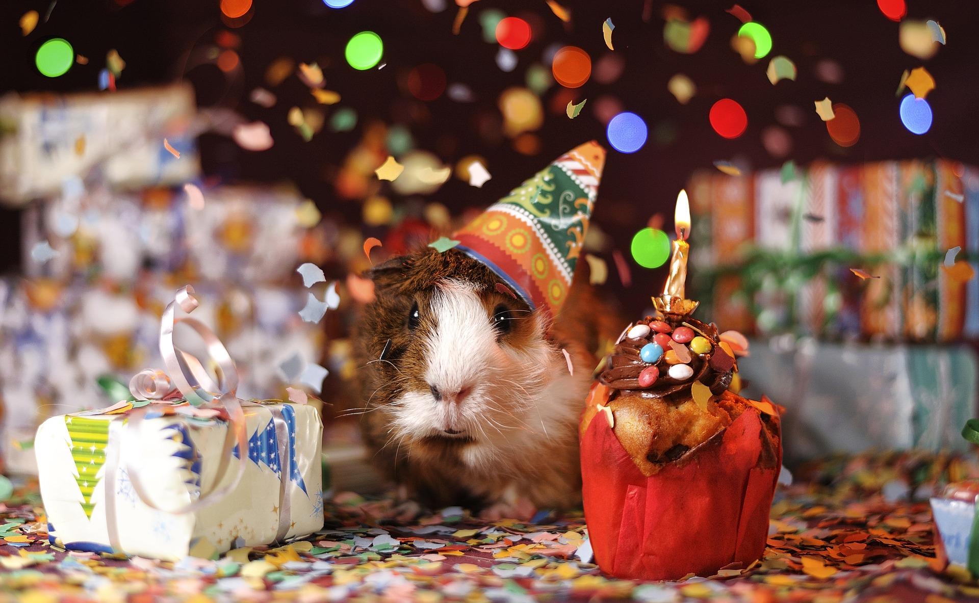 guinea pig celebrating christmas holidays