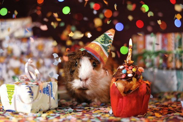 guinea pig celebrating christmas holidays