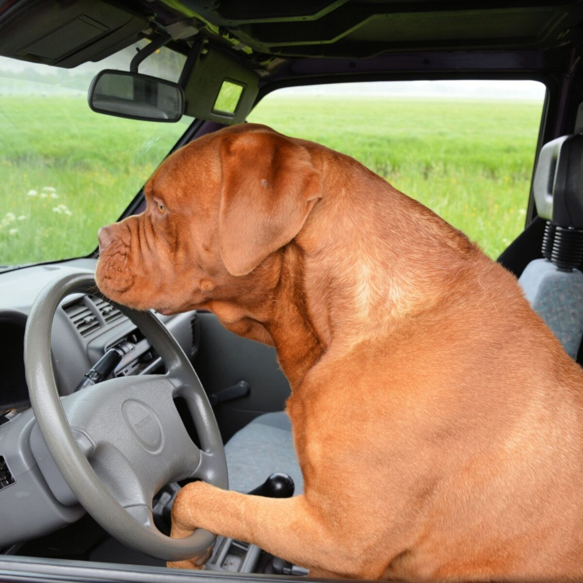 french mastiff driving