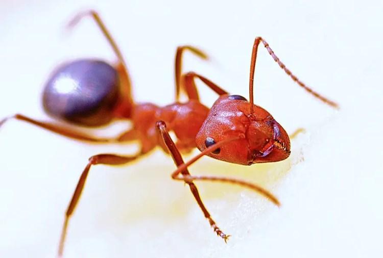 Pet Safe Fire Ant Killer Ecosmart Organic Home Pest Control Critter Clean Out