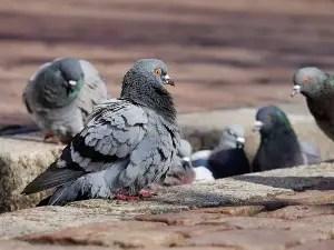 baby pigeon food diet