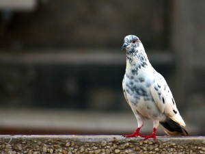 When do baby pigeons start to fly? - Critter clean out