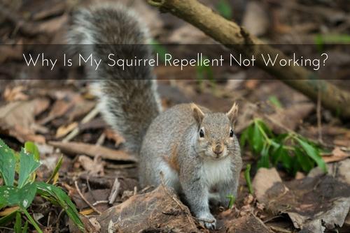 Gainesville Squirrel
