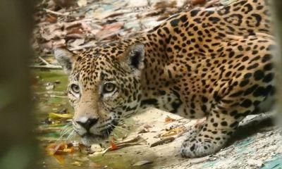 Un jaguar y varios animales más, han vuelto a rondar en varias zonas de la selva de Petén. (Foto: CONAP)